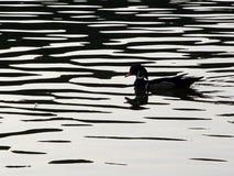 silhouettewoodduck Fotografering för Bildbyråer
