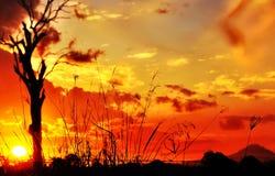 Silhouettez la longue herbe grande et le coucher du soleil d'arbre de gomme Photos libres de droits