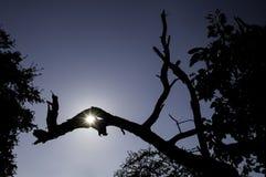 Silhouettieren Sie alte Niederlassung des Baums mit Sonnenfleck und blauem Himmel des freien Raumes Stockfotos