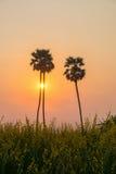 Silhouettieren Sie Arengapalmebaum auf Reisbauernhof während des Sonnenuntergangs Lizenzfreie Stockfotos