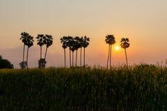 Silhouettieren Sie Arengapalmebaum auf Reisbauernhof während des Sonnenuntergangs Lizenzfreie Stockfotografie