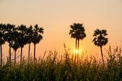 Silhouettieren Sie Arengapalmebaum auf Reisbauernhof während des Sonnenuntergangs Stockfotografie