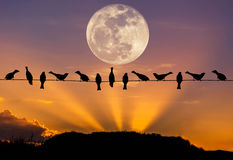 Silhouettieren Sie die Mengenspatzen, die auf Stromleitung im Sonnenuntergang mit Vollmond hocken Stockbild
