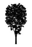 Silhouettieren Sie ein Baumschattenbild, das auf weißem Hintergrund lokalisiert wird Stockfotografie