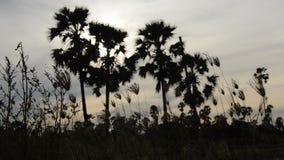 Silhouettieren Sie ToddyPalme auf Sonnenunterganghimmel im Reisfeld stock video
