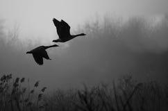 Silhouettierte Kanada-Gänse, die über nebeligen Sumpf fliegen Stockbild