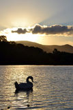 Silhouettierter Schwan Stockfotos