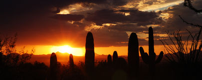 Silhousette Saguaros. Saguaro against the sunset in Tucson, Arizona Stock Photo