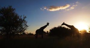 Silhoutte жирафа на заходе солнца Стоковое Изображение RF