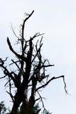 Silhoutte del árbol deshojado con el fondo limpio Imágenes de archivo libres de regalías