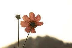 Silhoutte di un fiore rosa dell'aster Fotografia Stock Libera da Diritti