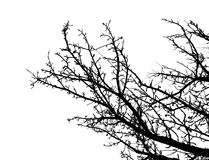 Silhoutte of tree. Black spring ized tree on white background Royalty Free Stock Photography
