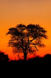 Silhoutted African tree. Dusk is an amazing time out in the bush. All the animals are moving around and there is a magical feeling in the air Stock Photos