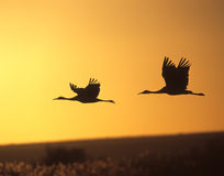 Sandhill Crane Silhouttes. A pair of sandhill cranes silhoutted against a late afternoon sky Royalty Free Stock Images