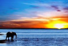 Silhueta bebendo do elefante Imagens de Stock