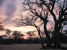 Silhueta da árvore com as trilhas do por do sol e do carro na areia em um local de acampamento isolado Imagens de Stock