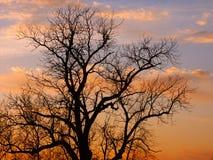 Silhueta da árvore de carvalho Imagens de Stock