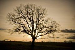 Silhueta da árvore de carvalho Foto de Stock Royalty Free