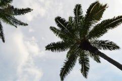 Silhueta da árvore do óleo de palma Imagens de Stock