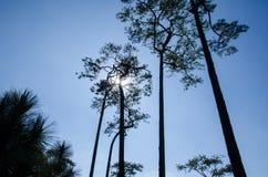 Silhueta da árvore grande Fotografia de Stock
