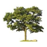 Silhueta da árvore isolada no fundo branco Imagem de Stock