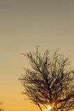 Silhueta da árvore no por do sol Fotografia de Stock Royalty Free