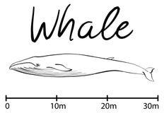 A silhueta da baleia, baleia azul isolou o vetor preto e branco Imagens de Stock