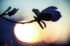 Silhueta da flor da magnólia sobre o céu da noite foto de stock royalty free