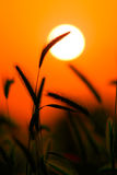 Silhueta da grama de encontro ao por do sol imagens de stock royalty free