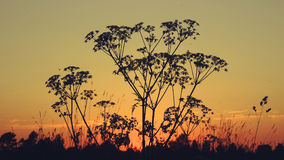 A silhueta da grama no gloaming vespertine Foto de Stock