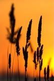 Silhueta da grama selvagem imagem de stock royalty free