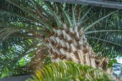 Silhueta da palmeira do coco foto de stock royalty free