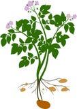 Silhueta da planta de batata ilustração stock