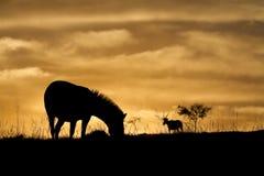 Silhueta da zebra foto de stock