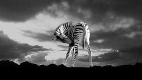 Silhueta da zebra do bebê contra o céu nebuloso Foto de Stock Royalty Free