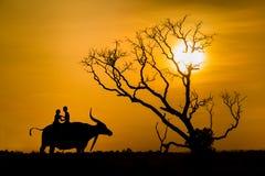A silhueta das crianças em búfalos suporta e no durin seco inoperante da árvore Fotos de Stock