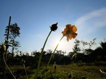 Silhueta das flores Foto de Stock Royalty Free