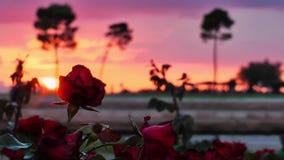 Silhueta das rosas e dos povos video estoque