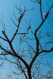 Silhueta de árvores secadas em um fundo cloudless do céu azul fotografia de stock