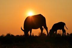 Silhueta de dois búfalos com fundo da luz solar Foto de Stock