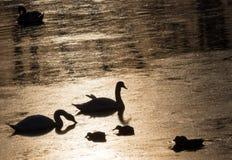 Silhueta de dois cisnes e patos que mergulham para o alimento durante o por do sol bonito no rio Bosut Vinkovci, Croácia TIF imagem de stock royalty free