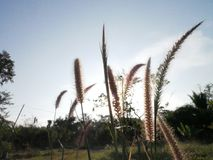 Silhueta de flores da grama Foto de Stock