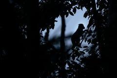 Silhueta de posição com crista do macaque no ramo da árvore Feche acima do retrato Macaque com crista preto end?mico naughty fotos de stock