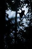 Silhueta de posi??o com crista do macaque no ramo da ?rvore Feche acima do retrato Macaque com crista preto end?mico naughty foto de stock royalty free