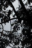 Silhueta de posi??o com crista do macaque no ramo da ?rvore Feche acima do retrato Macaque com crista preto end?mico naughty imagem de stock