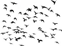 Silhueta de pássaros de voo no branco Fotografia de Stock