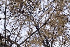 A silhueta de um Alnus da árvore de amieiro ramifica e amentilhos pequenos dos cones no inverno do outono fotografia de stock royalty free