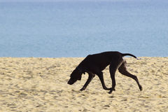 Silhueta de um cão em uma praia Imagens de Stock