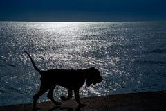 Silhueta de um cachorrinho bonito do sabujo em 5 meses foto de stock