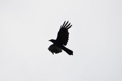A silhueta de um corvo do voo Imagens de Stock Royalty Free